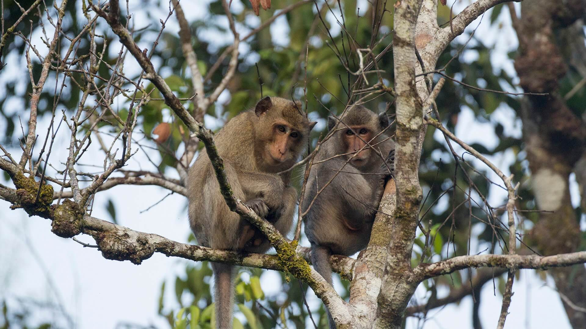 Long-tailed macaques can often been seen around Cardamom Tented Camp