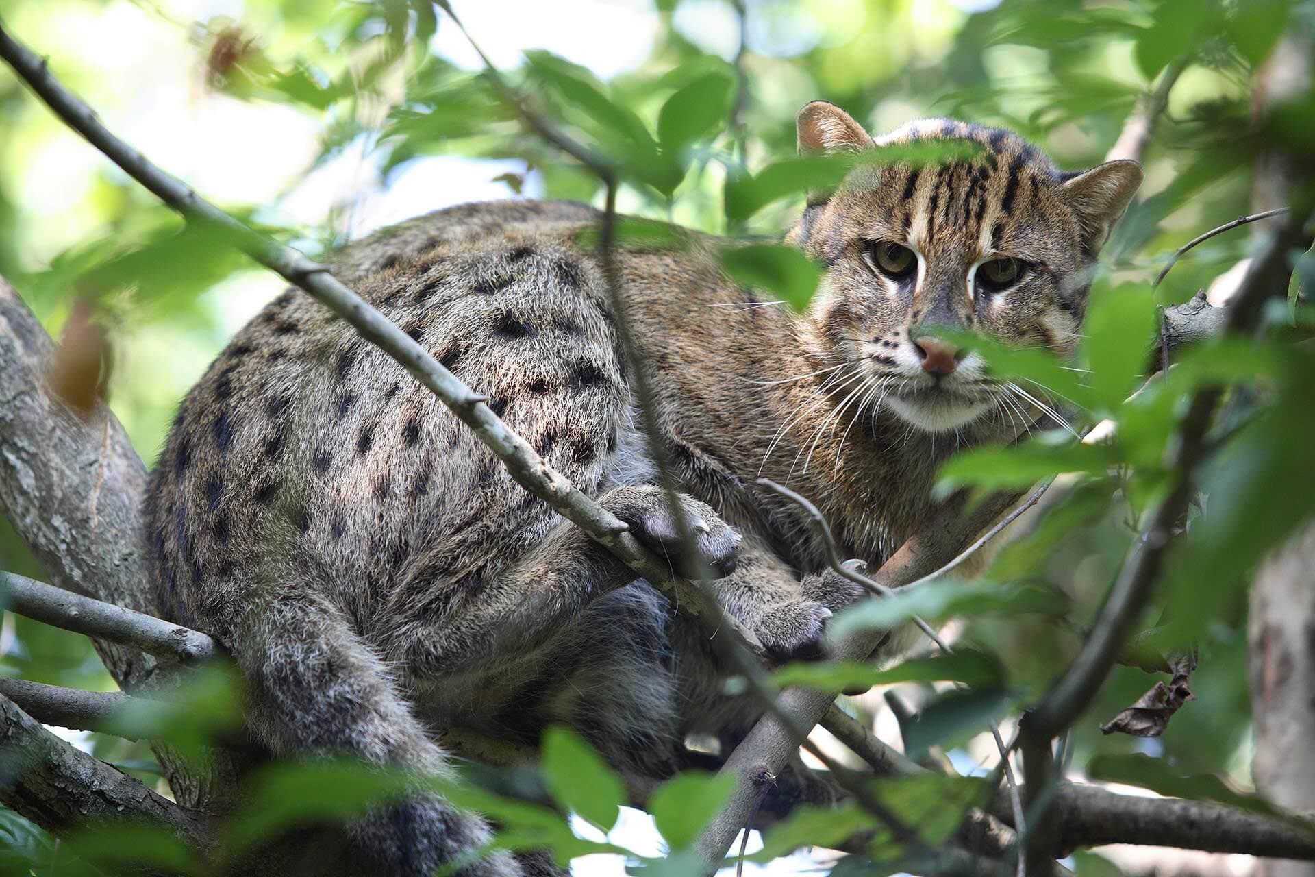 Fishing Cat in a tree