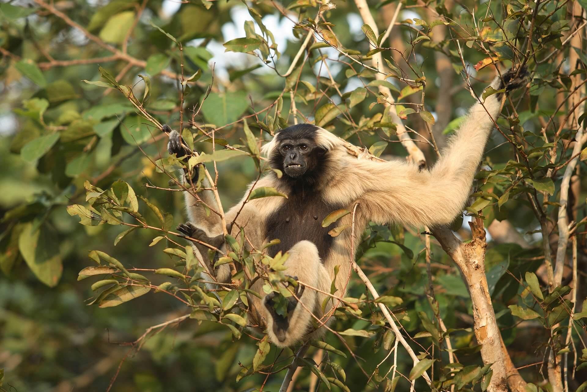 Pileated Gibbon at Phnom Tamao Wildlife Rescue Center